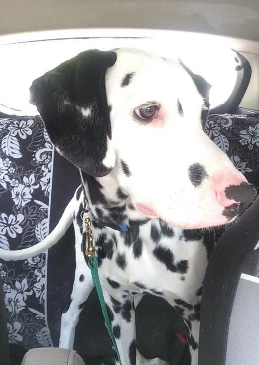 Adopt Patriot On Adoption Dalmatian Dogs Dalmatian