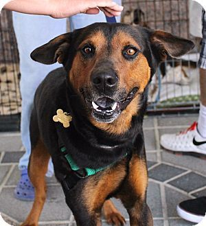 Richmond Va Doberman Pinscher Mix Meet Rascal A Dog For Adoption Dog Adoption Doberman Pinscher Adoption
