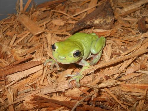 White's Tree Frog - Reptiles Wholesale | MY PETS | Tree