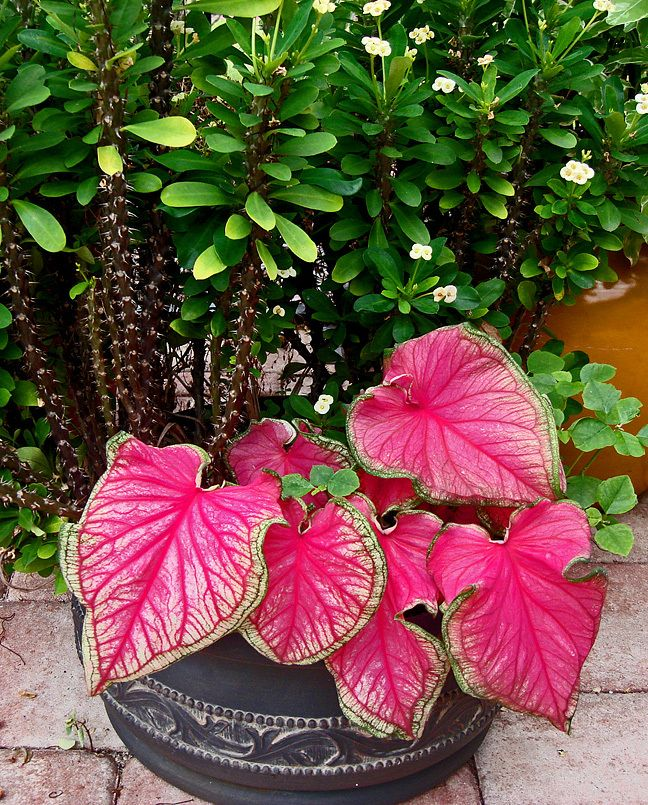 South Florida Tropical Landscape Ideas Planter Container: Sweetheart Caladiums And Giant Crown Of Thorns
