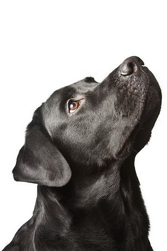 The Dog Black Labrador Looks Upwards Isolated On White Material
