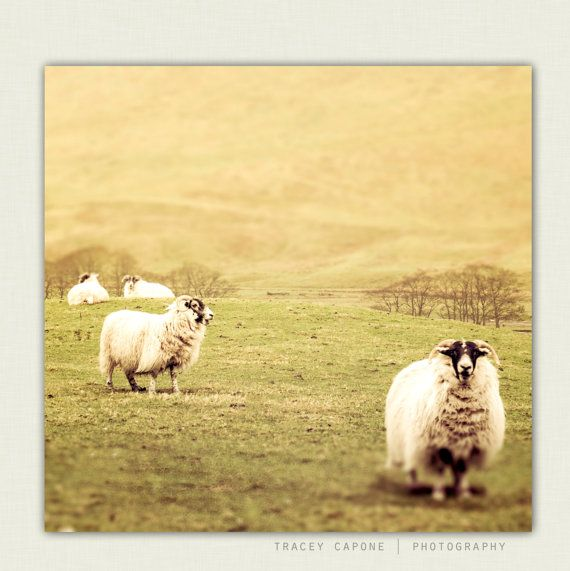 Nature Photography, Picture of Sheep, Barn Animal, Wall Art Decor ...