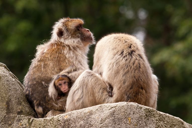 How will monkeys survive in the mountains if winters become colder? Can species survive climate change when they are living at the edge of their ideal niche?