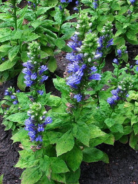 Plants We Love Great Blue Lobelia Lobelia Siphilitica Native