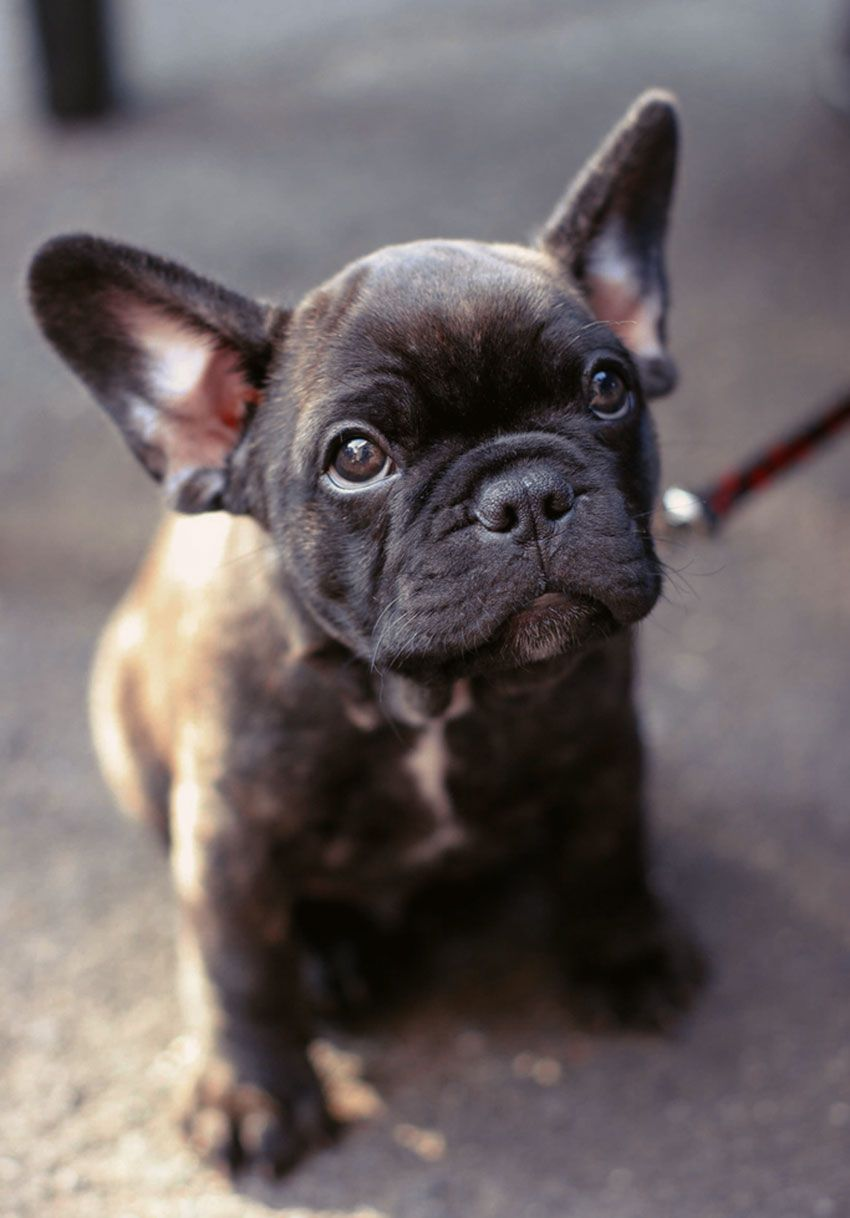 How To Potty Train Your French Bulldog Baby Dogs Bulldog