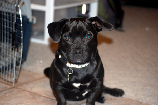 Pugador Pug Lab Mix I Want One Pug Lab Mix Pug Mix Pugs
