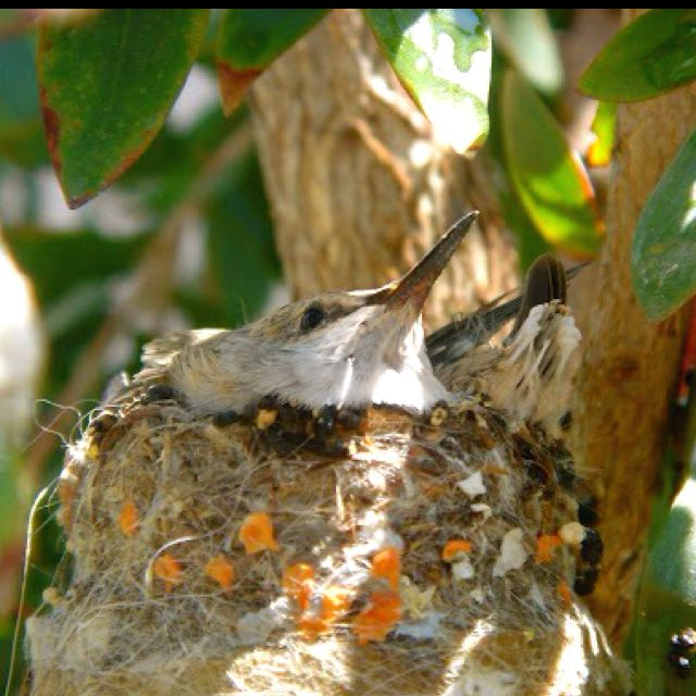 Two baby hummingbirds discovered when watering