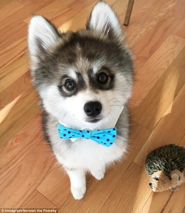 Meet The Pomsky Puppy Who Has Gained
