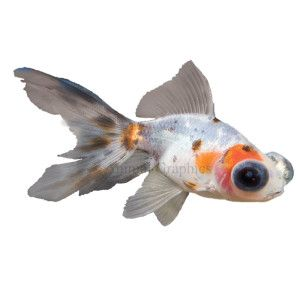 Calico telescope goldfish goldfish fish petsmart 7 for Pet koi fish tank