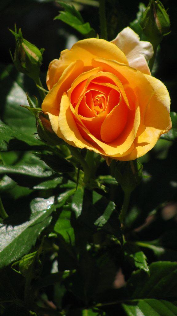 La mi rosa