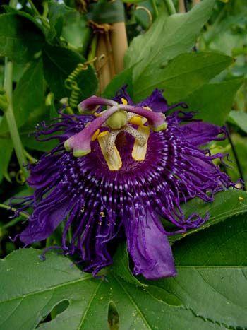 Passion Flower 'Inspiration' Passiflora