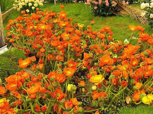 Anemone Orange Garden Flowers Anemone Orange Flowering Plants Shade Loving Perennials Flower Garden