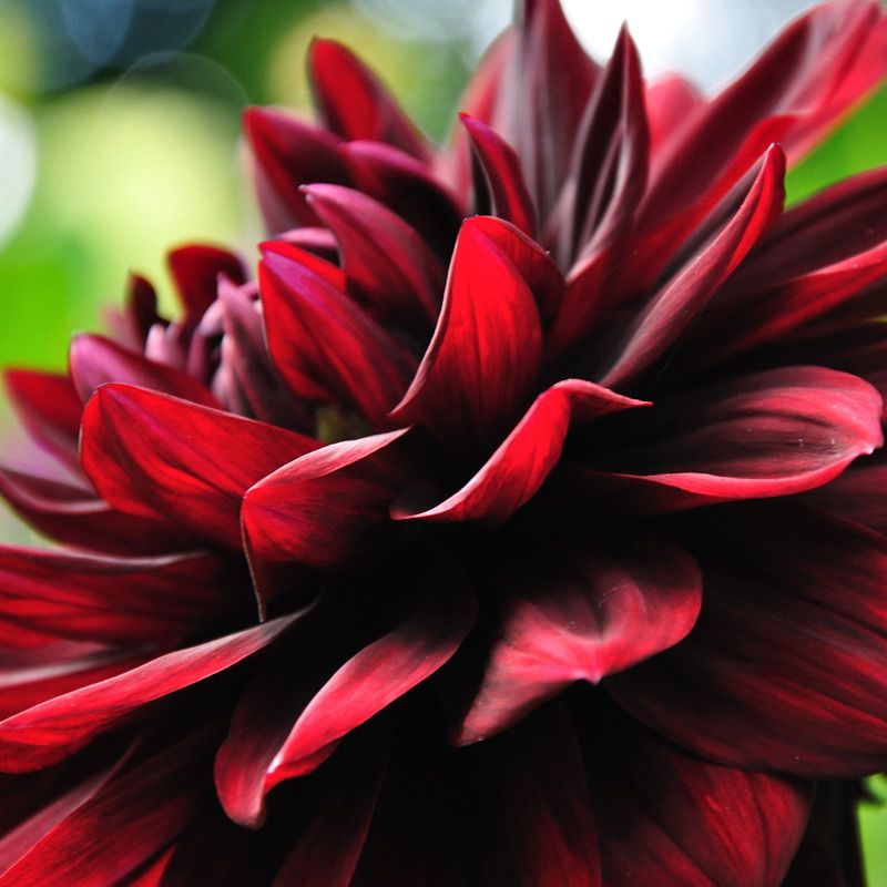 Dahlia Burgundy Black Flower: Pride Of Place. The Photograph, The Memory And The Art