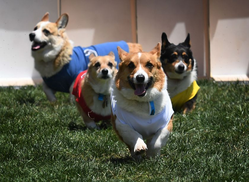 Cute Corgis Compete In First Socal Corgi Nationals At Santa Anita Park Corgi Cute Corgi Animals