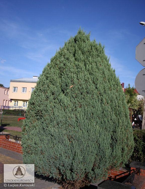 Juniperus Chinensis Stricta Juniper Stricta Chinese Juniper Plants Conifers Tree