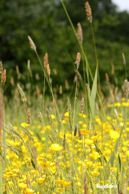 hold one under your chin to see if you like butter! ) WE DID! is part of Wild flowers -
