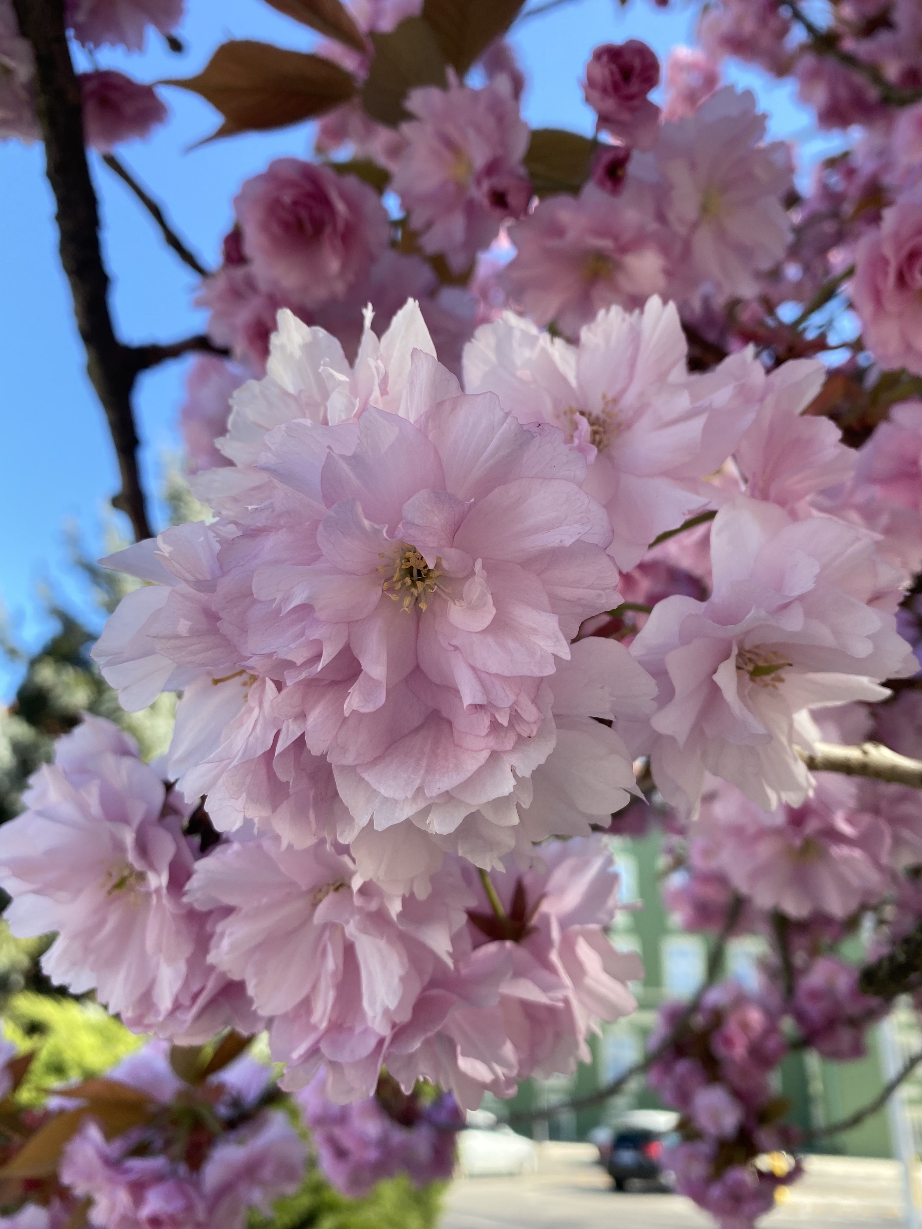 Pin By Ni Putu Hany Yulia On Cherry Blossoms In 2020 Flowers Blossom Plants