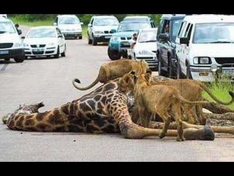 Leopard vs Wild Dogs, Snake vs Komodo Dragon, Lion ...