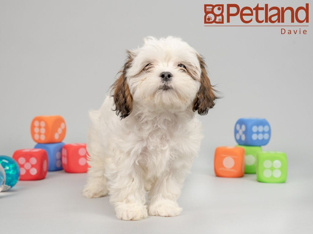 Petland Florida has Teddy Bear puppies for sale
