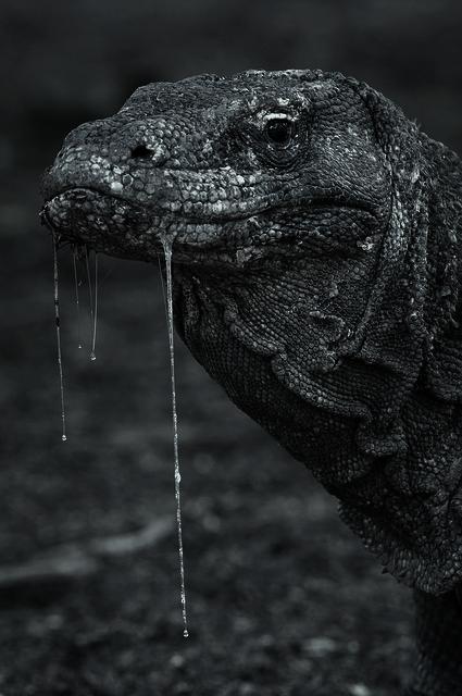 Black Komodo Dragon : black, komodo, dragon, Takomo, Alkutuli, Vitchellhausen:, THAT'S, SLOBBERY, Komodo, Dragon,, Reptiles,, Nature, Animals