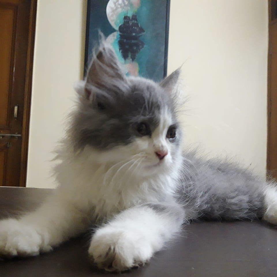 Buy Persian Cat In Pune Mummy Cat Persian Cat Kitten For Sale Kitten Adoption