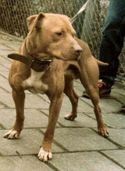BROS' HANDSOME Son of Bolio | Here comes the Champ! | Pitbulls