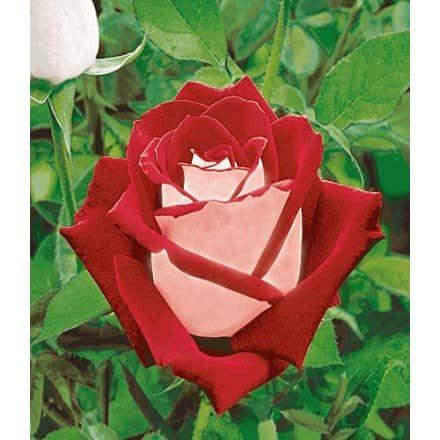 Rose Blue Saphir 1 Pflanze Baldur Garten Gmbh Rosas