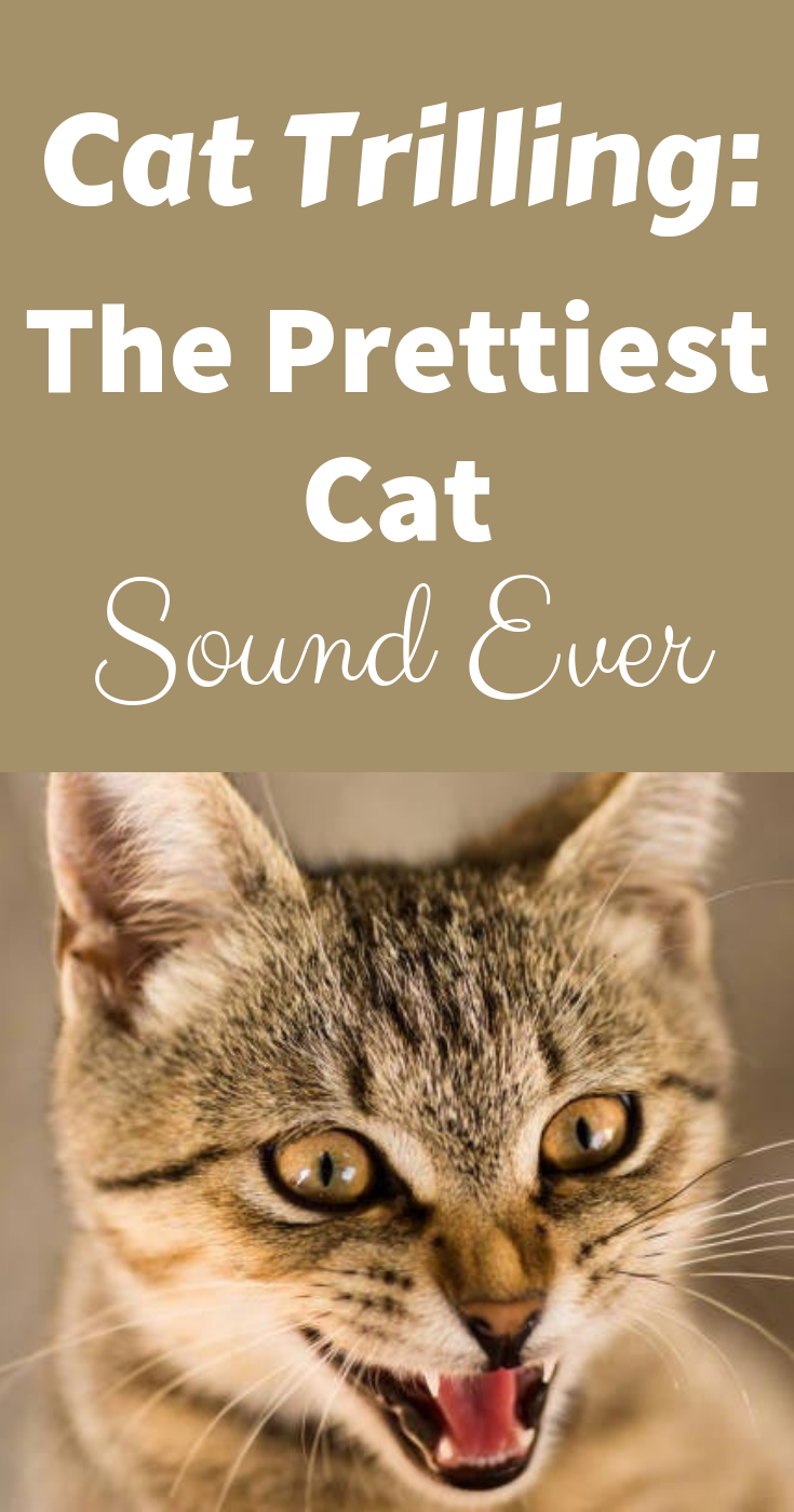 Cat Trilling The Prettiest Cat Sound Ever Pretty Cats Cats What Cat