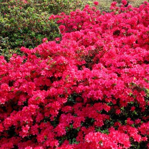 Azalea Mollis Rood In 2020 Tuin Struiken Bolbloemen Bloeiende Struiken