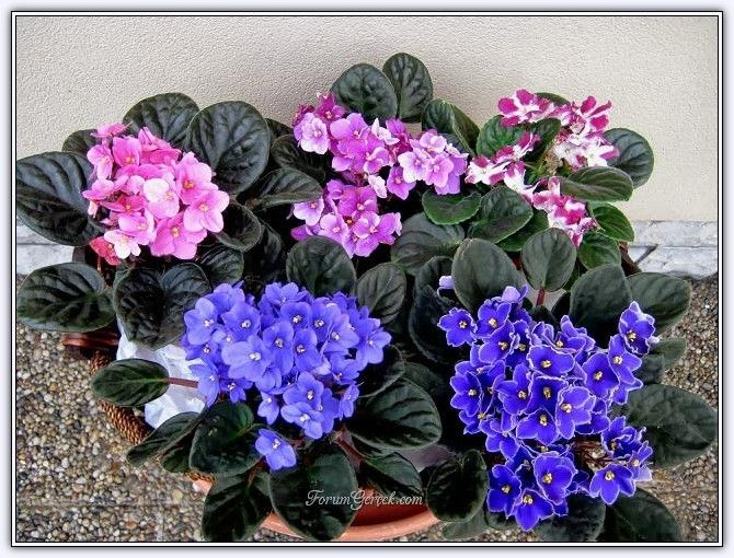 Photo of African Violet, Care and Production (Saintpaulia – Africa …