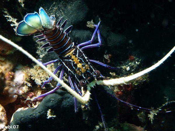http://www.starfish.ch/Fotos/crustaceans-Gliederfuesser/lobsters ...