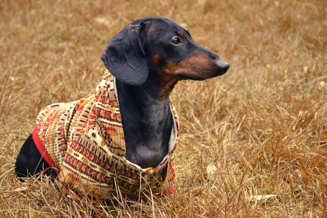 Dachshund Dog In Fall Outfit Dachshund Weenie Dogs Dachshund Dog
