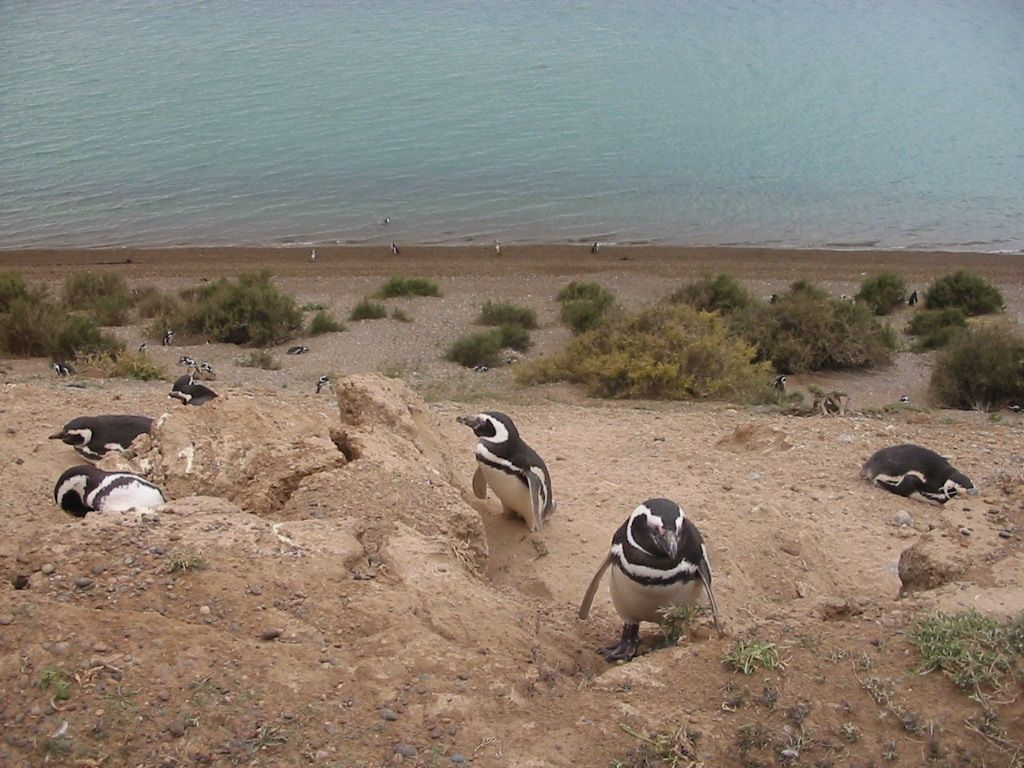 The main reason people flock to Puerto Madryn and Peninsula Valdes is to see the flocks of penguins and the migration of the Southern Right whales.