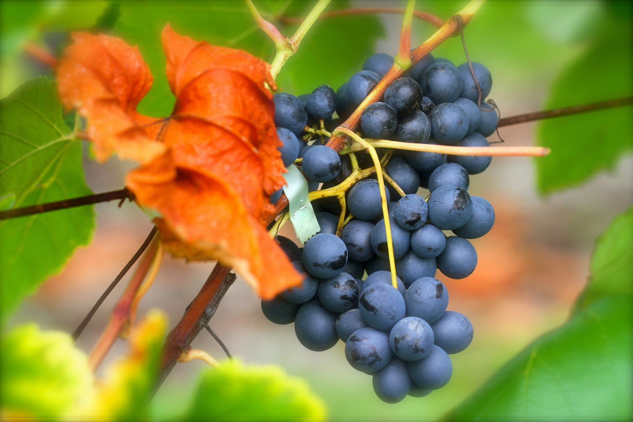 2048x1365 Wallpaper Images Grapes Grapes Grape Wallpaper Best Fruits