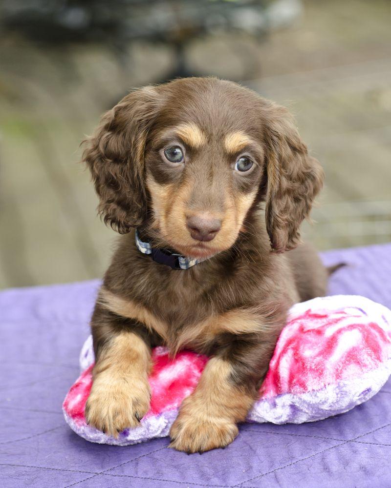 Miniature Dachshund Puppy! http//www.localpuppybreeders