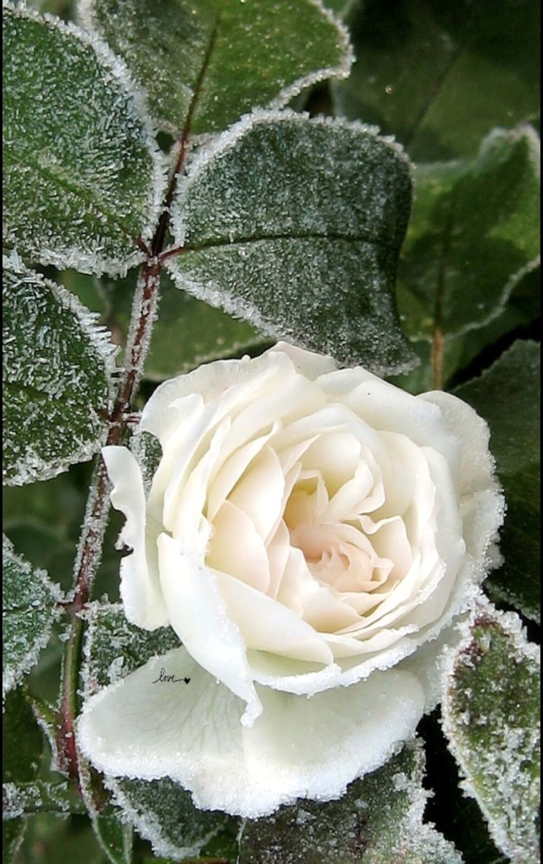 Pin by hindi ld on lovely roses pinterest rose flowers and beautiful flowers rose izmirmasajfo
