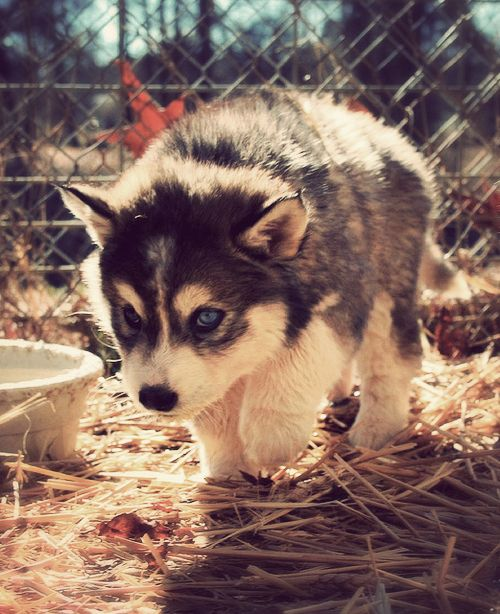 Husky Puppy This Is My Dream Husky With The Blue Eyes The White Black And Gray Furr Cute Animals Animals Beautiful Animals