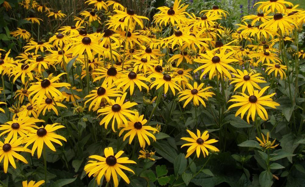 d02d13c18bf6b Rudbeckia fulgida var. sullivantii  Goldsturm  ist der bekannteste Sonnenhut.  Seine großen goldgelben Blüten sind auch verblüht noch eine Zierde.