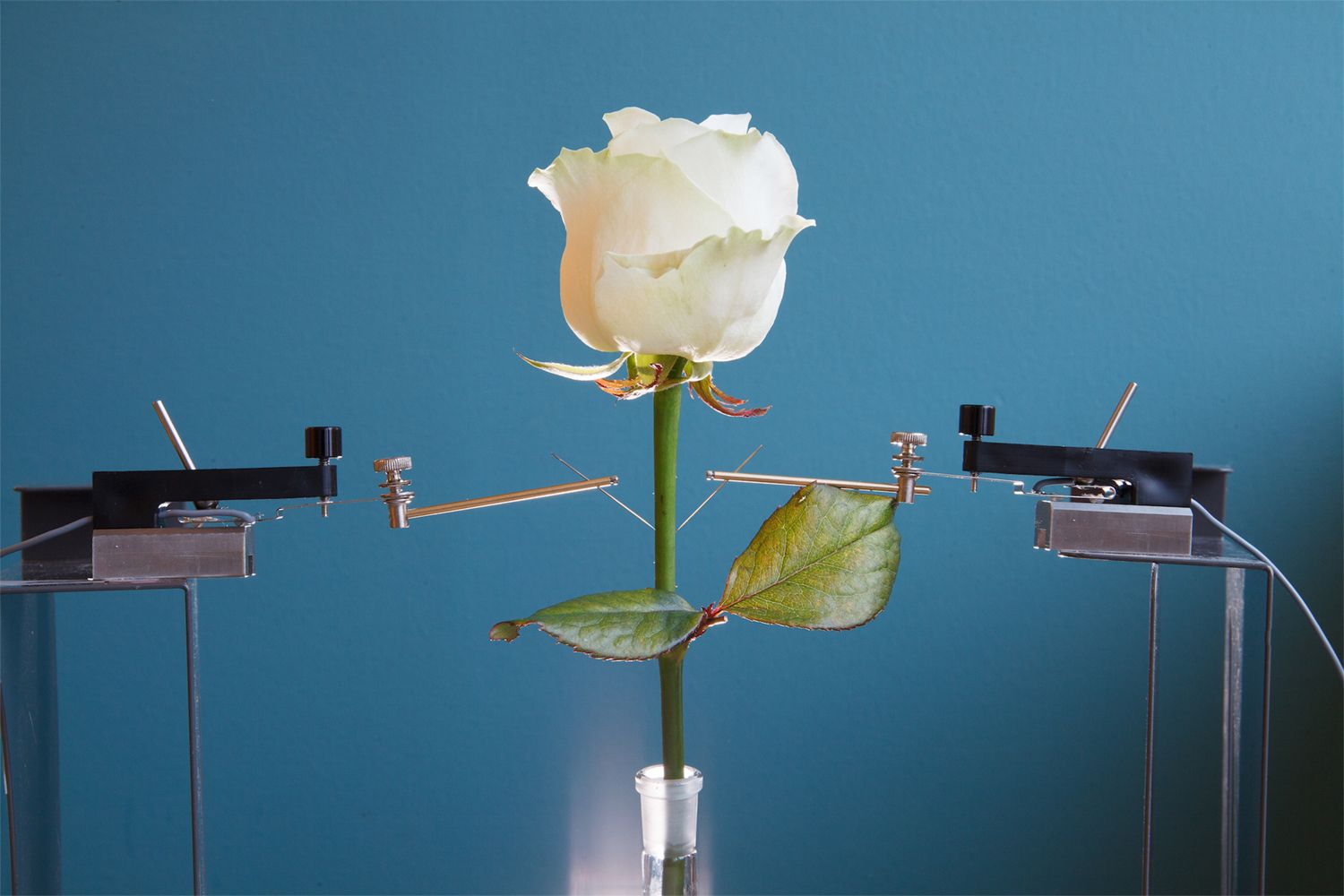 Scientists grow cyborg roses at Six Million Dollar each - Technology «http://rw.web.ve/1PJp368»