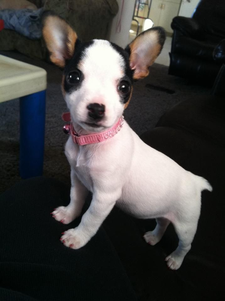 teacup rat terrier rat terriers sound like gross ugly dogs just from the name 1082