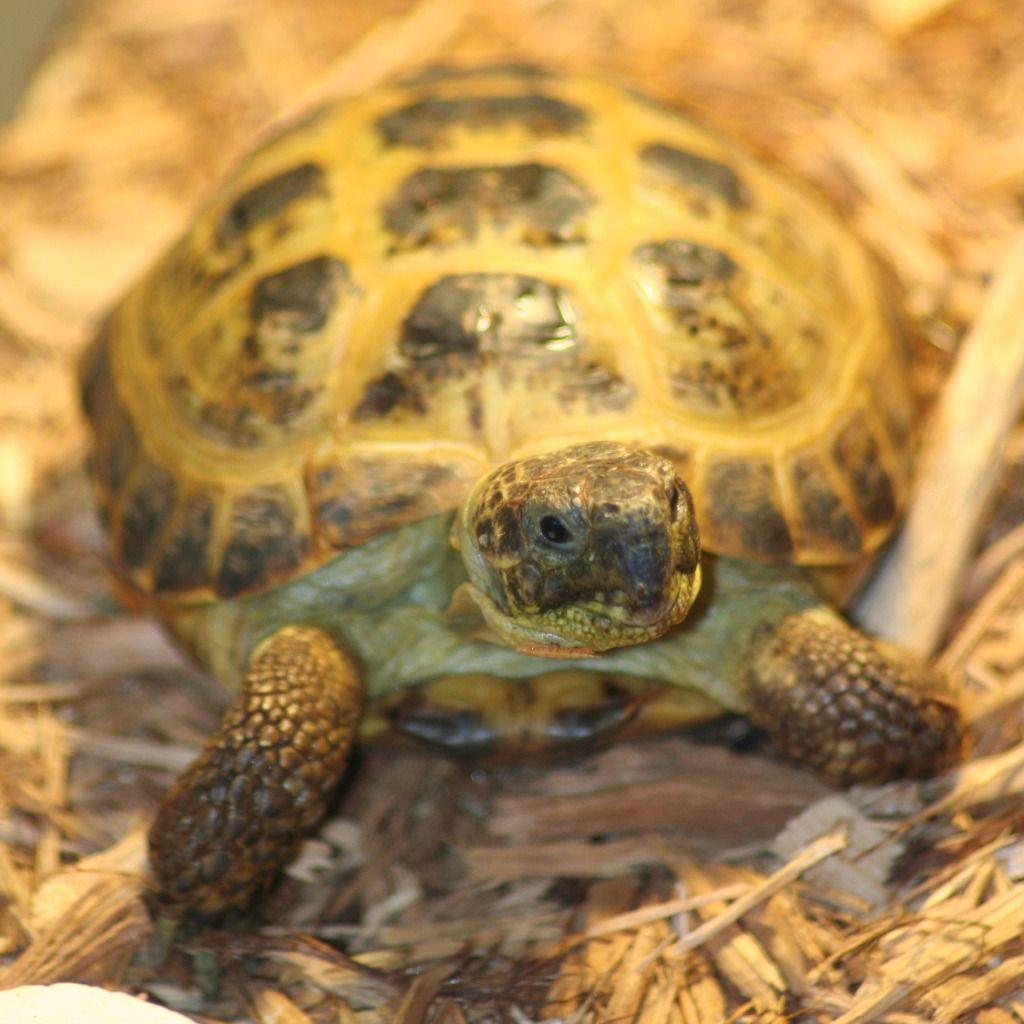 Russian tortoise Russian tortoise, Tortoise care