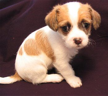 Fo Tzu Toy Fox Terrier Mixed With Shih Tzu Toy Fox Terriers
