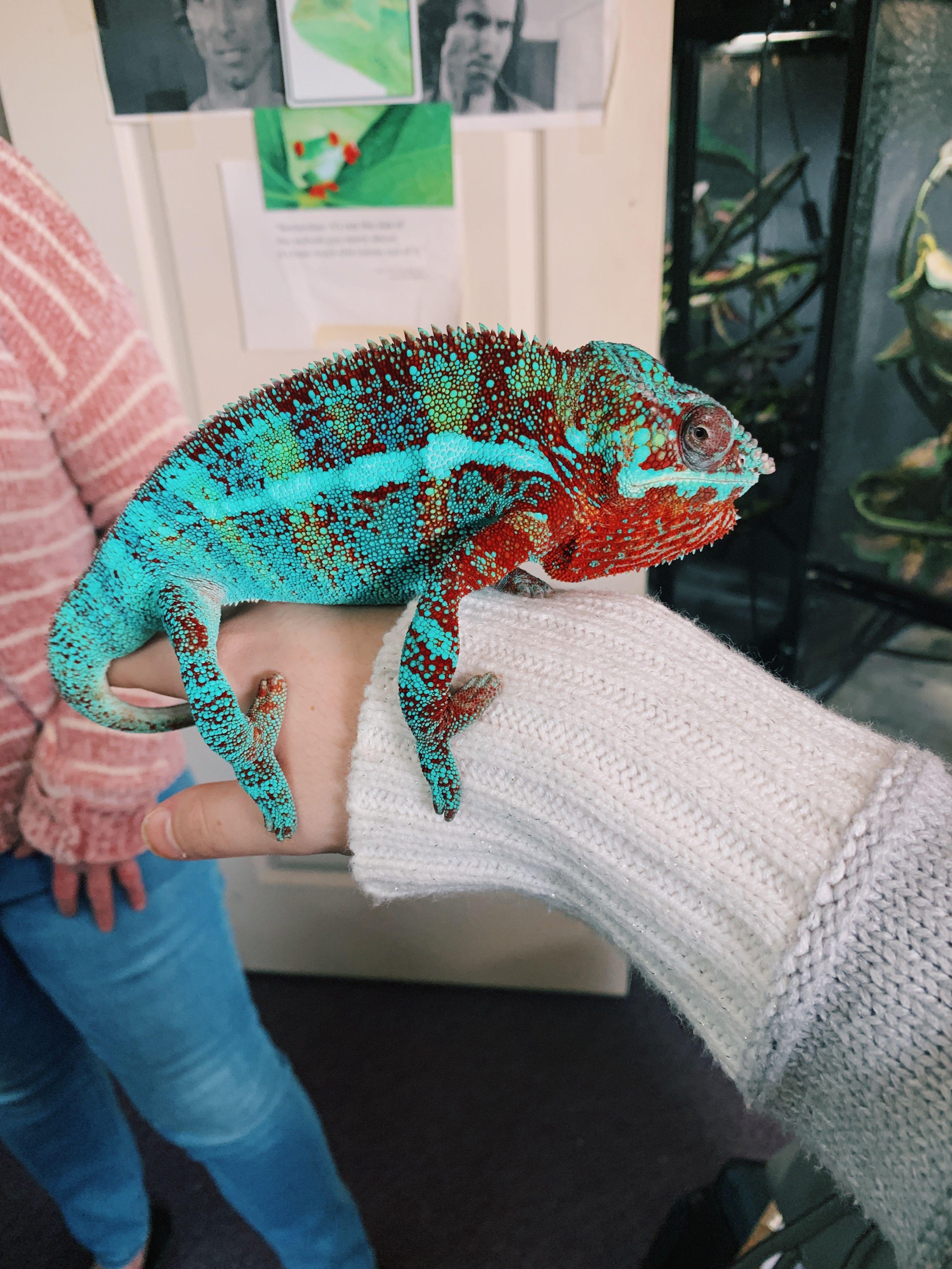 Vsco Chameleon Reptile Cute Reptiles Chameleon Pet Reptiles Pet