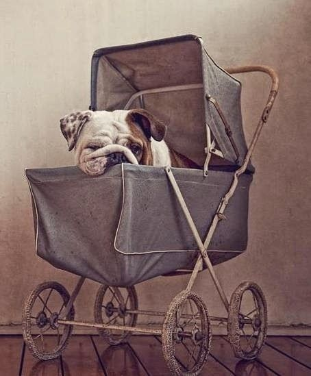 So DogGone Funny!: PICTURE OF THE DAY: Such a Big Baby | [4a065] #dogs #pets #EnglishBulldogs