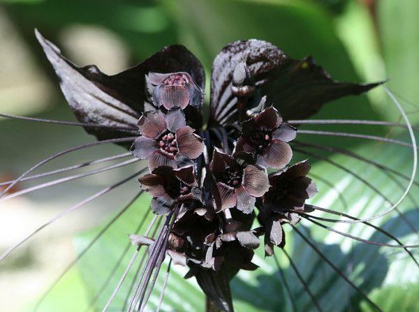 Newenglander With Keywords Black Bat Plant Bat Flower Bat Plant Plants
