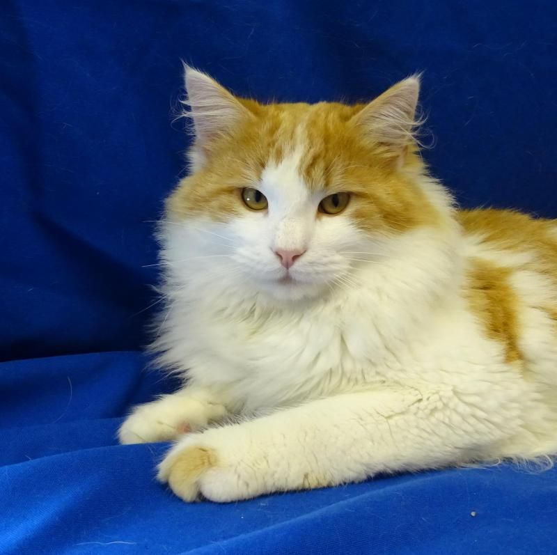 Adopt Repeat On Petfinder Orange And White Cat White Cats Long Haired Cats