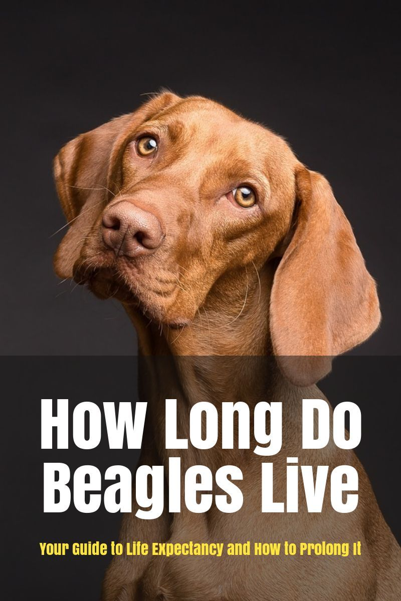 How Long Do Beagles Live Your Guide To Life Expectancy And How