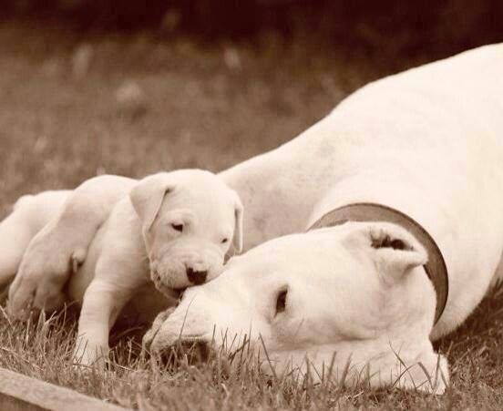 Dogo Argentinos Dog Argentino Cool Pets Beautiful Dogs