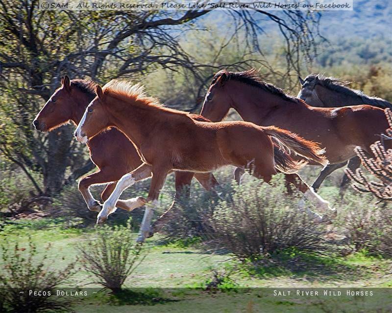 Salt River Wild Horses in Mesa, Arizona. Photo by Becky