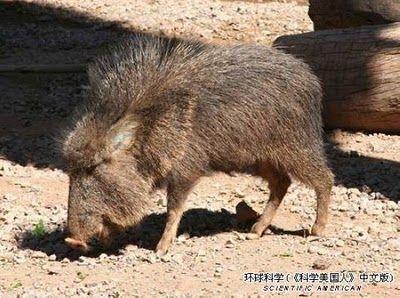 Rare Animal Razorback Havalina | Rare animals, Most endangered ...